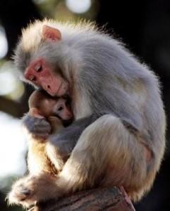 monkey_w_baby