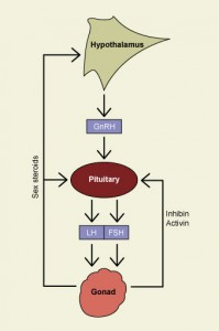 How Reproductive Hormones Work- Putting It All Together